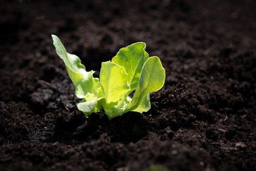 lettuce seedling  salad  seedling