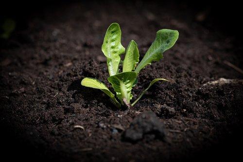 lettuce seedling  salad  garden