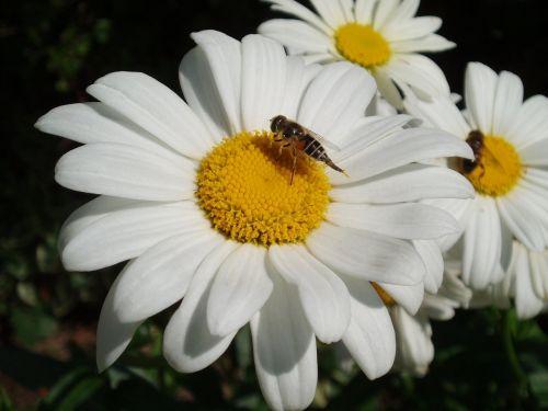 leucanthemum daisy white