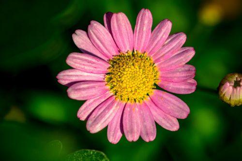 leucanthemum pink-margerite flower basket