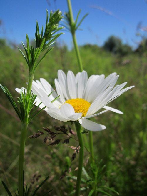 leucanthemum vulgare ox-eye daisy oxeye daisy