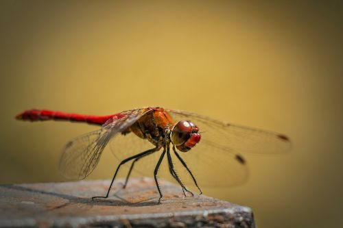 sympetrum vulgatum ordinary dragonfly red dragonfly