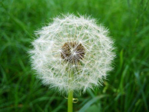 dressing-gown dandelion seeds child láncfű meadow flower