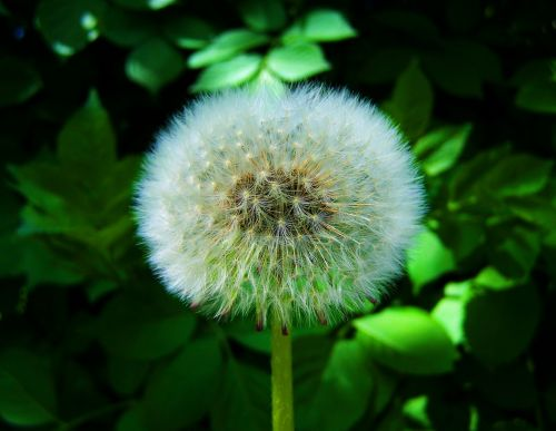 levirágzott dressing-gown dandelion seeds nature