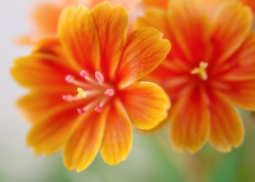 lewisia bitterwurz blossom