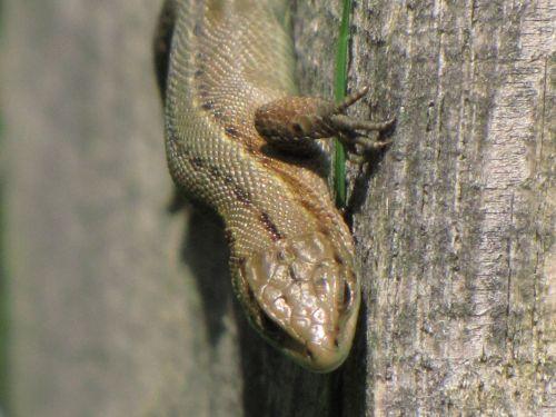 Wall Lizard 2