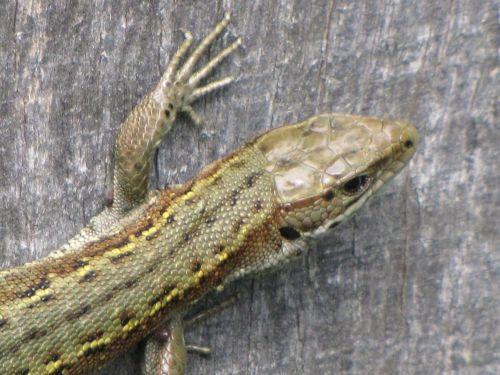 Wall Lizard 3