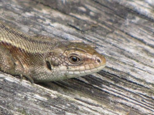 Wall Lizard 4