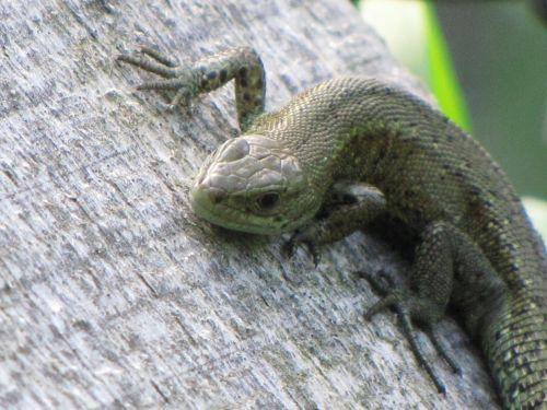 Wall Lizard 5