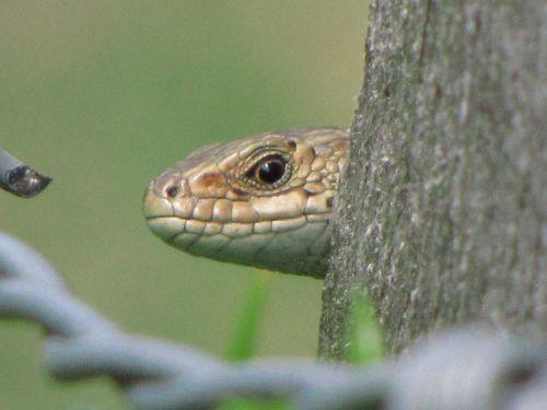 Wall Lizard Portrait