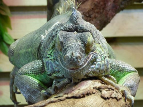Lizard Sleeping