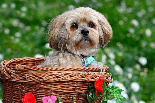 lhasa apso  dog  animal