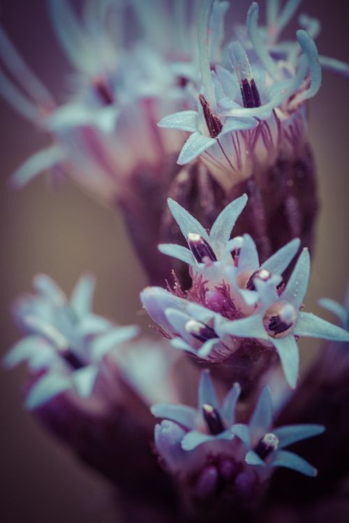 liatris spicata splendor notch shrub