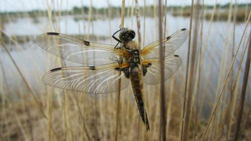 Dragonfly,ežeras,tvenkinys,vandenys,vabzdžių,pobūdį,Moor,už jos ribų,gyvūnų,gyvūnai,vandens,žolė,šiaudų,rohhalm,Reed,sparnai,kontūras,Dragonfly,pixabay,akys,duomenys,akys,skristi