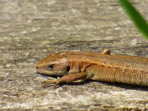 Lizard On Wood