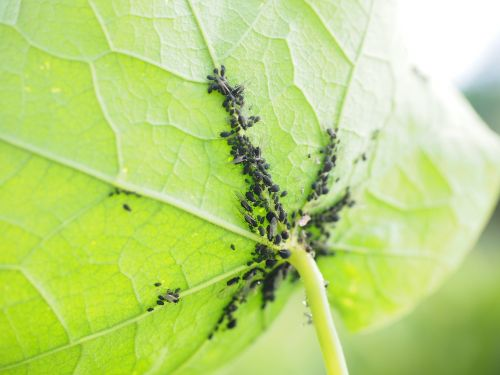 lice leaf vermin