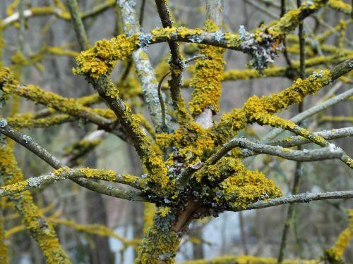 lichen aesthetic branch
