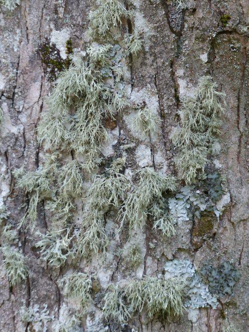 lichen brush braid doris farinacea