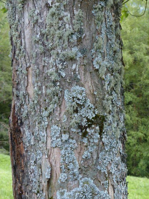 lichen leaf braid blue grey