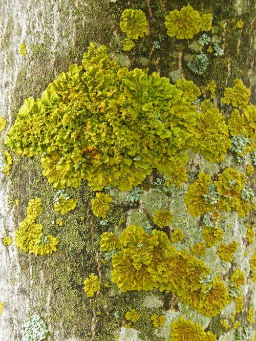 lichen moss trunk