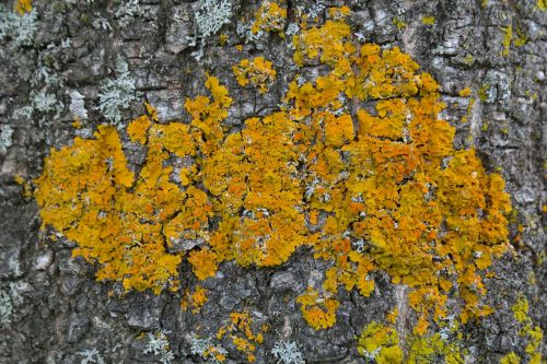 lichen ordinary gelbflechte xanthoria parietina