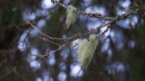lichen usnea medicinal plant