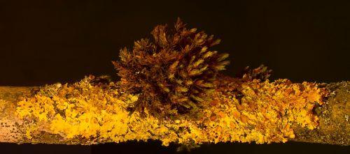 lichen yellow lichen xanthoria-parietina