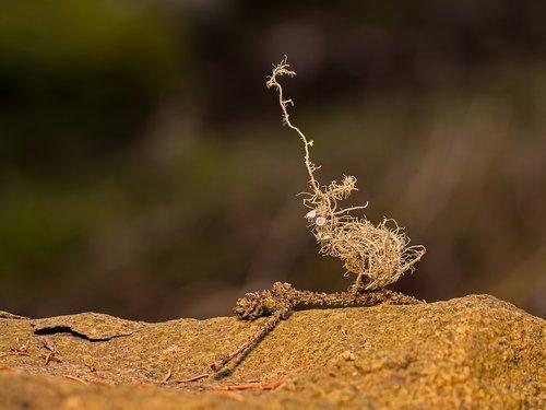 lichen  tree braid  barber's itch