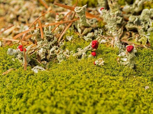 lichen  pillar lichen  rotfrüchtige pillar lichen