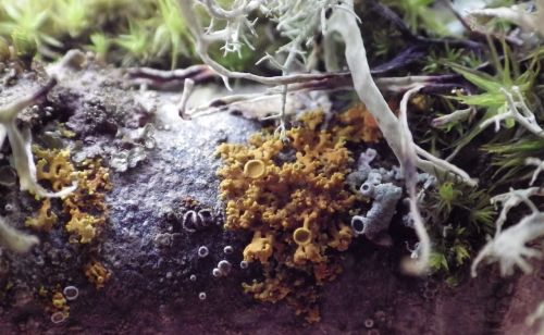 lichen gold stag horn