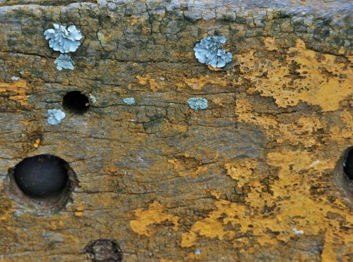 Lichen Growing On Wood Surface
