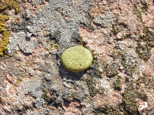 lichens lichen rock