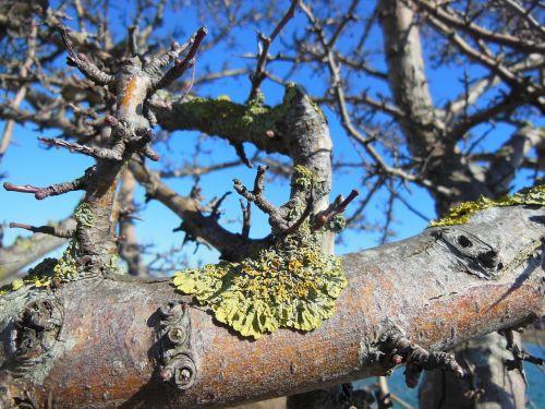 lichens lichen lichen on branches