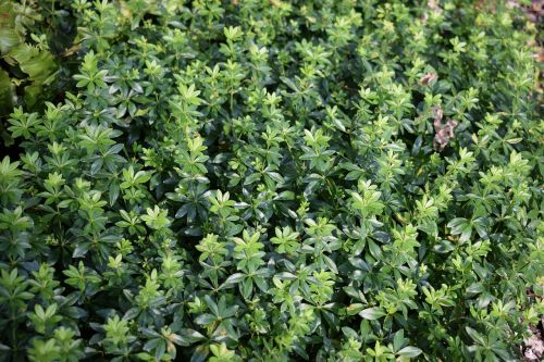 lievevrouwebedstro ground cover green