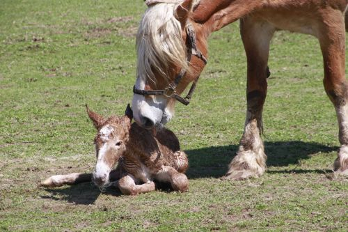life birth foal horse