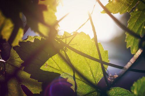 light sun leaf