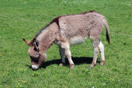 Light Brown Donkey
