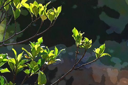 Light On Gardenia Leaves