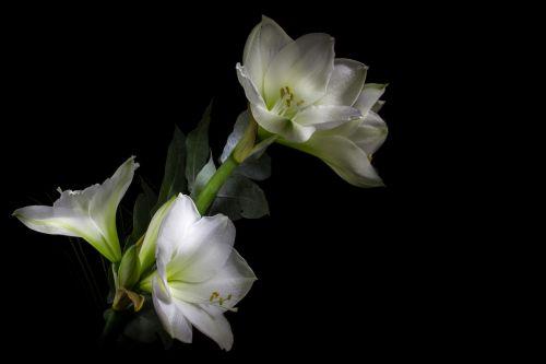light painting amaryllis flower