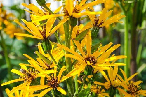 ligularia  gold piston  blossom