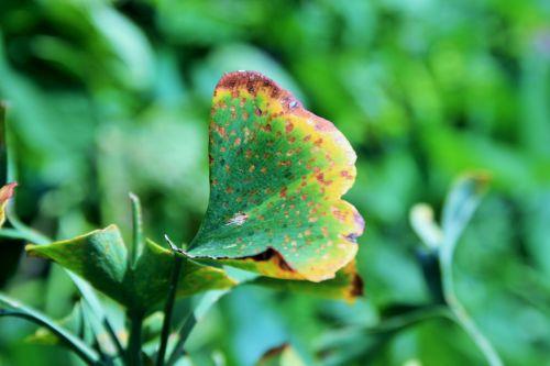 Like A Butterfly, Ginkgo Biloba