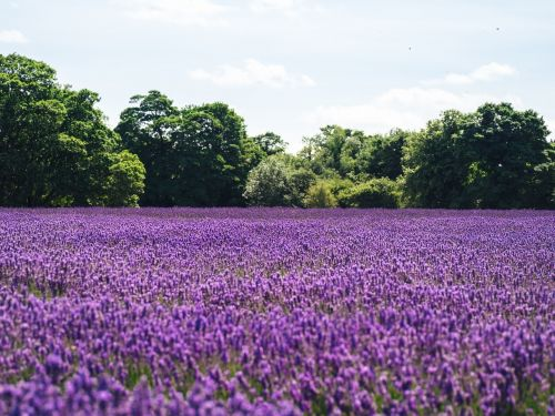 lavender lilac field of flowers