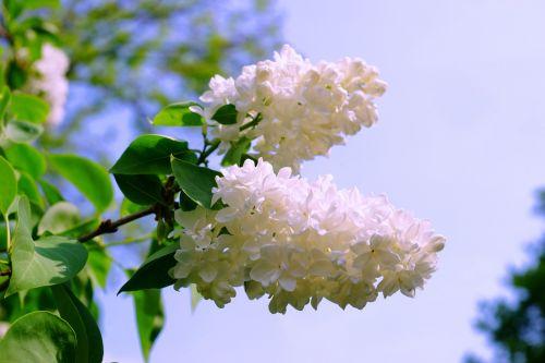 lilac white white lilac