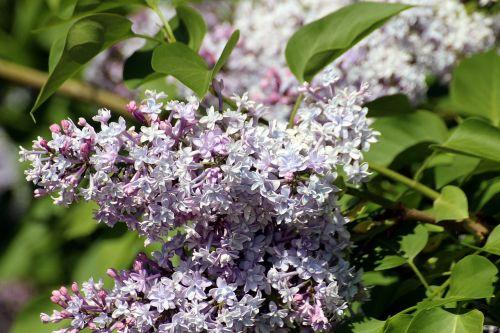 lilac syringa genus