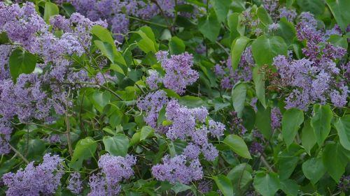 lilac green bush