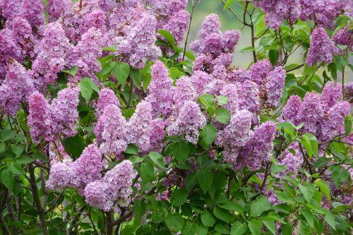 lilac syringa flowers