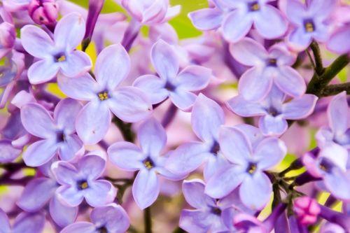 lilac violet pink