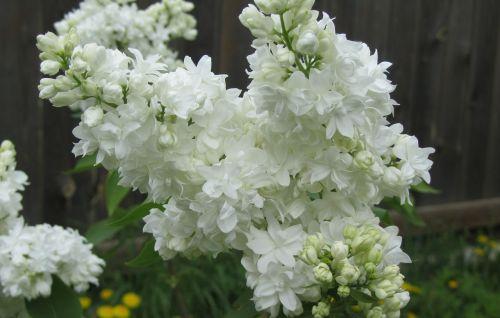 Alyva,gėlės,krūmas,balta,žalias,alyvinė krūmas,Iš arti,makro,makrofotografija
