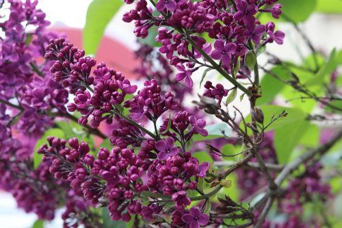 lilac purple purple flower
