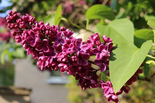 lilac macro blossom